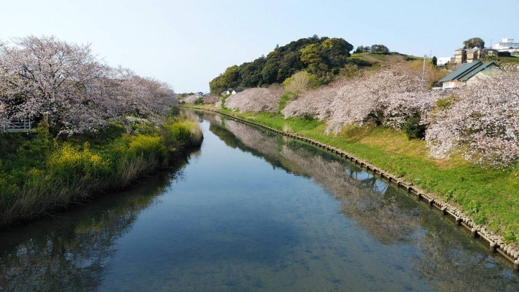 今朝の桜☆勝間田川
